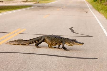 Alligator crossing road